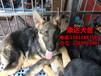 广州哪里有狗场卖德牧犬广州哪里有出售狼狗德牧犬