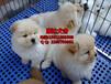 广州松狮犬哪里有卖的,高品质憨厚可爱松狮大脑袋大骨架
