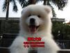 珠海哪里有卖萨摩耶犬?珠海买萨摩耶价格多少
