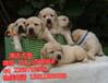 佛山哪里有卖拉布拉多好佛山边度有卖拉布拉多犬