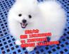 惠州哪里有博美犬卖一只博美犬多少钱呀