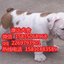 深圳品相好的英牛犬哪里有卖英牛价格图片