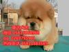 惠州哪里有松狮犬卖一只松狮犬多少钱呀