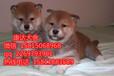 佛山什么地方有正规狗场出售纯种柴犬纯正血