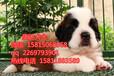 惠州市哪里有狗卖惠州哪里有卖圣伯纳犬
