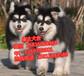 东莞哪有出售阿拉斯加正规养殖基地_买狗赠送用品一套