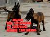 东莞到哪里买宠物犬比较好东莞哪里有卖马犬cku认证犬舍直销