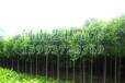 湖南核桃树苗报价_湖南6-12公分核桃树苗苗圃价格159-9372-0369