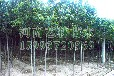 江西梨树苗供应_江西6-12公分梨树苗产地价格159-9372-0369