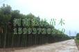 华阴哪里卖5-11公分美人梅,红叶碧桃产地价格159-9372-0369
