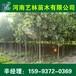 临沂去哪买2公分垂柳/百日红树苗供应159-9372-0369