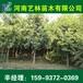 洪湖直销7公分广玉兰/苹果树苗苗木价格159-9372-0369