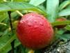 桃树苗指导种植