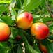 7公分桃树苗新品种