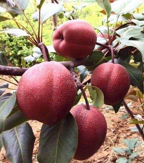 圆黄梨树苗几年结果 苗木培育:健壮的苗木是早期丰产的基础。梨苗木如何直接影响栽植成活率,栽植后根系恢复的快慢,抽枝状况,对结果早晚、树势强弱、产量高低甚至寿命长短都有一定的影响。无论是自育苗木,还是购买苗木,都必须坚持苗木。一级梨苗:侧根长20厘米以上,根数4条以上,侧根基部粗度0.