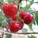 塔瑪拉櫻桃品種介紹1公分櫻桃苗價格