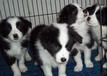 贵州毕节买卖宠物犬毕节哪里有狗场纯种边牧什么价