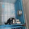 云南买卖纯种阿拉斯加犬云南哪里有卖阿拉斯加犬