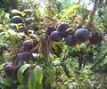 温州李子树一级苗、温州李子树原生苗这个品种怎么样