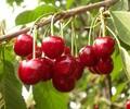 先锋樱桃苗冬剪技术指导,扬中樱桃树苗含糖量多少
