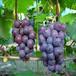 麗水葡萄樹苗栽培技術