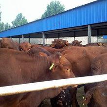山东黑牛养殖场
