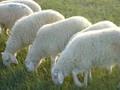 小尾寒羊最新价格图片