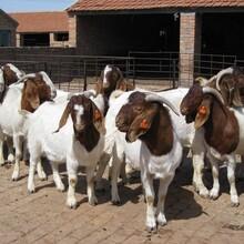 波尔山羊幼羊价格