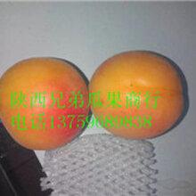 2017陕西丰园红杏开始订购50#起步图片