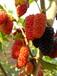 供应山东大果耐寒果桑品种