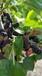 供应果桑品种