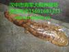 江蘇娃娃魚養殖環境/娃娃魚批發價格/娃娃魚多少錢一斤