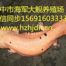 娃娃鱼养殖技术/娃娃鱼病害防治/汉中市海军大鲵养殖场