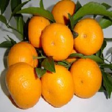 求购蜜桔砂糖桔丑橘脆皮金桔