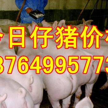 山东烟台三元仔猪价格淄博仔猪价格潍坊仔猪价格青岛仔猪价格