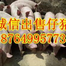 三元仔猪基地山东外三元仔猪价格行情图片