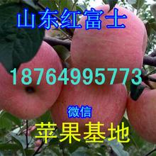 山东苹果产地价格红富士苹果批发价格山东苹果种植基地在哪里图片