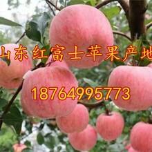 内蒙古红富士苹果价格行情辽宁苹果价格吉林苹果价格黑龙江苹果价格图片
