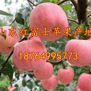 福建红富士苹果价格龙岩苹果价格宁德红富士苹果价格福州苹果批发基地图片1