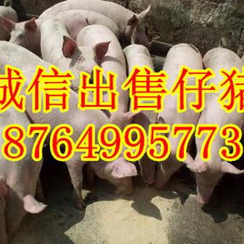 云南仔猪价格