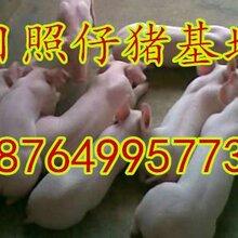 仔猪养殖苗猪养殖山东约克仔猪养殖价格二元仔猪养殖图片