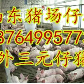 山猪天主福音特码报基地各地三元仔猪价格行情黑猪批发价格