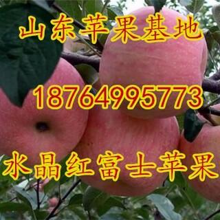 北京红富士苹果价格北京红将军配合基地北京冰糖心苹果批发北京美八苹果价格行情图片3
