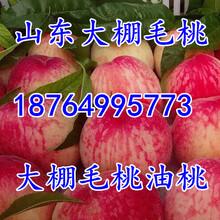 山东水蜜桃基地价格蒙阴水蜜桃价格陕西水蜜桃价格临沂水蜜桃价格图片