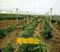 株洲紅廣桔果苗價格株洲哪里有紅廣桔果苗賣株洲大量批發紅廣桔果苗