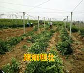清远大量批发美国糖桔苗价格 清远优质美国糖桔苗价格要多少钱 清远优质果苗图片