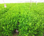 兴义果苗网兴义优质果苗网哪里有兴义大量批发果苗网图片