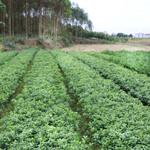 清远东方红桔小苗供应清远哪里有正宗东方红桔小苗清远东方红桔小苗基地供应图片