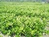衡阳红广桔果苗出售&衡阳红广桔果苗价格多少钱&衡阳供应大量红广桔果苗