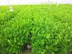 江西果树苗价格江西哪里有果树苗卖江西大量批发果树苗
